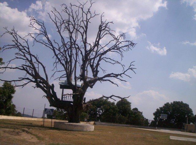 Barron tree observing cricket
