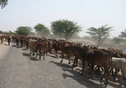 Cattle on the way