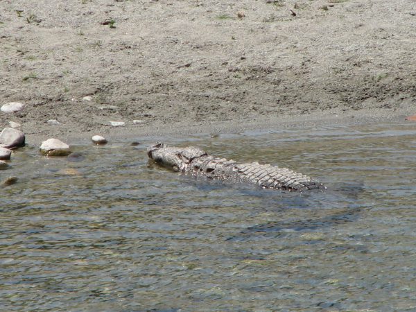 Croc at Corbett