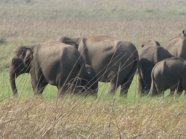 A herd of elephants at Corbett
