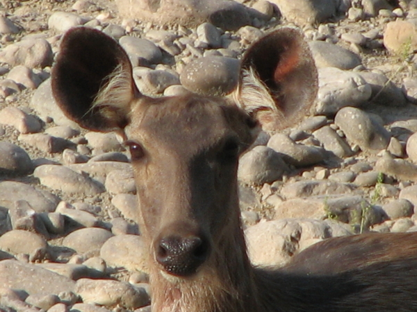 Sambhar Deer at Corbett