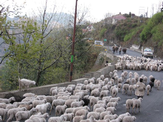 Sheep on the way to Kashmir