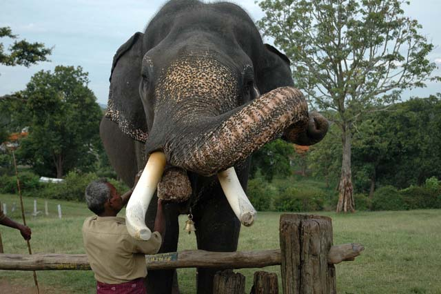 Elephant having his dinner