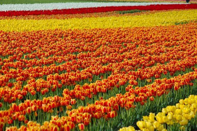 Tulip ki Chadar (Sheet)