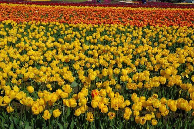 Tulips all galore