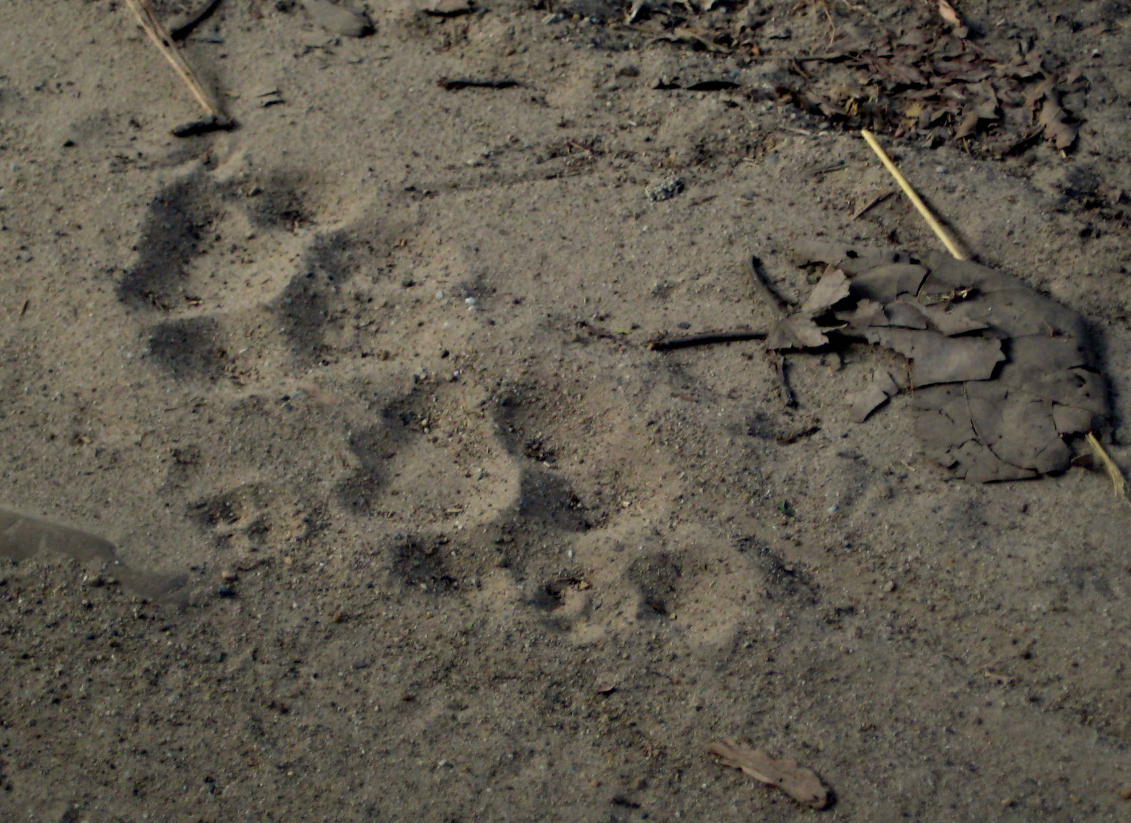 Marks of Tiger Paws