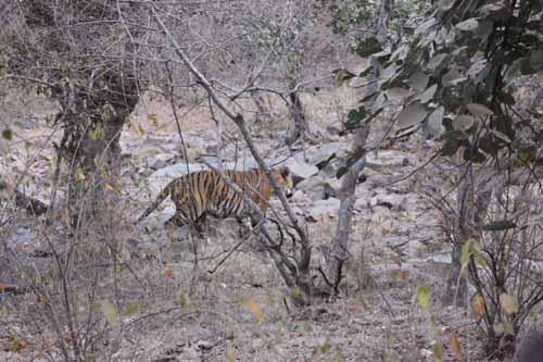 the-tiger-at-ranthambore
