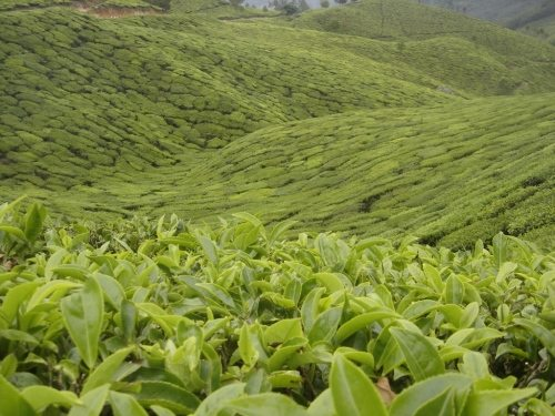 Munnar valley filled with tea planation as far as one can see