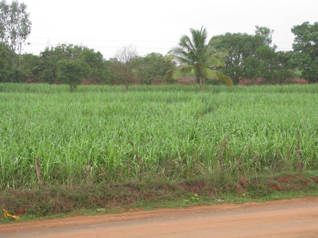 sugar-cane-near-kolhapur-may-2009-109