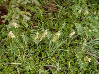 alpine-flowering-plants-lake-louise-area-1