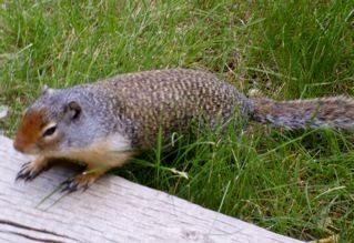 alpine-forest-ground-squirrels-2