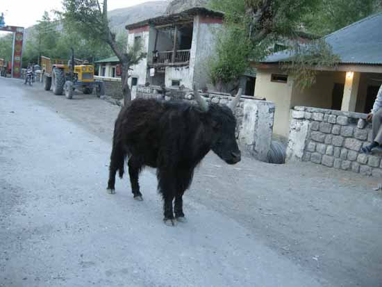 We quickly shot this assuming its a Yak. True City people. Its a cow.