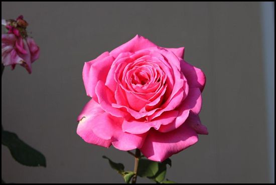 pink-rose_opt