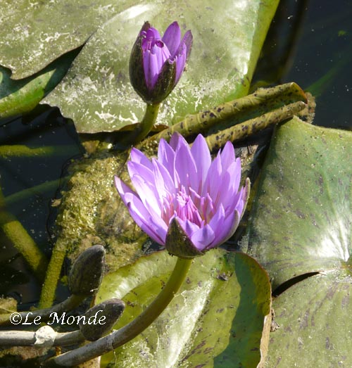 Beautiful Lily in dirty pond.