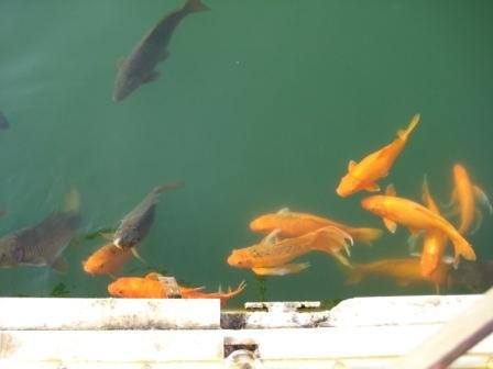 Coloured Fish in the Amrit Sarovar