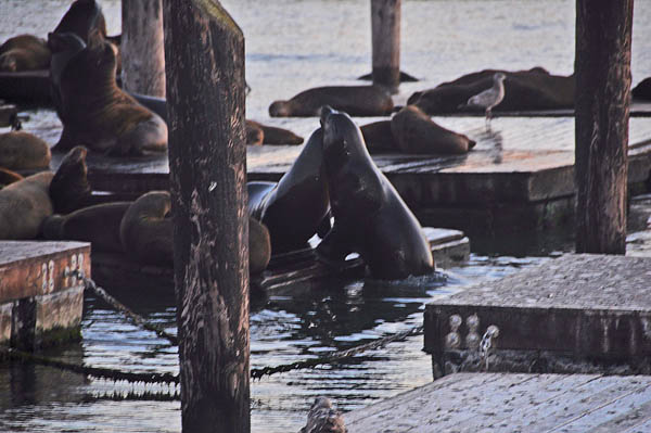 Sea Lions, San Francisco, Pier 39