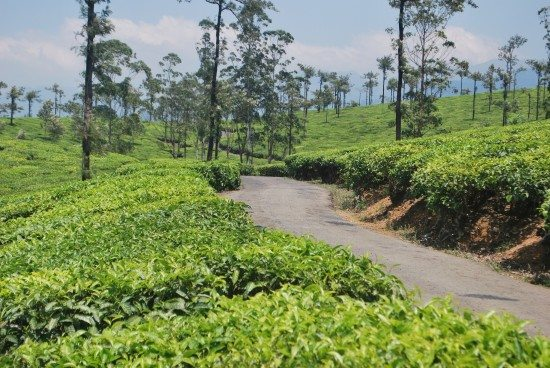 Through the Tea Estates