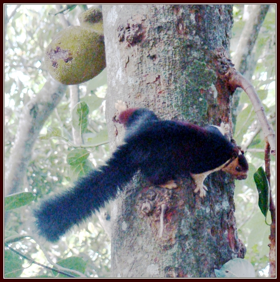 Malabar Giant Squirrel on Jackfruit Tree