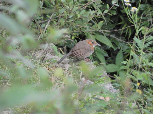Birding in Dhanaulti