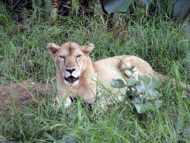 Lion spotting in Van Vihar