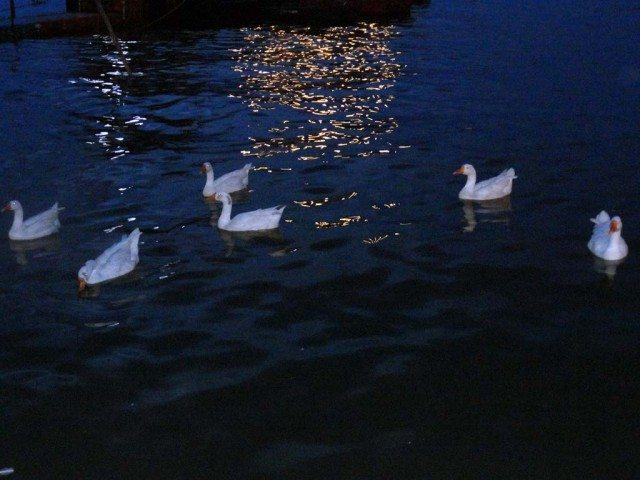 Swans gliding in the glimmering waters of Upper Lake, Bhopal