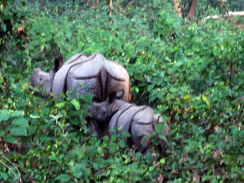Rhinos at Dudhwa