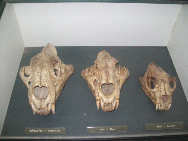 http://www.ghumakkar.com/wp-content/uploads/2012/01/5.-Skeletons-in-Zoo-Left-Lion-Middle-tiger-Right-Tiger-640x480.jpg