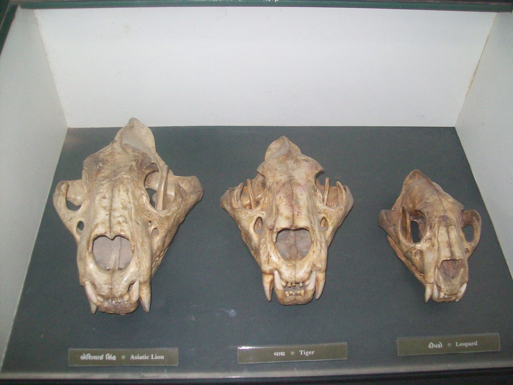 http://www.ghumakkar.com/wp-content/uploads/2012/01/5.-Skeletons-in-Zoo-Left-Lion-Middle-tiger-Right-Tiger.jpg