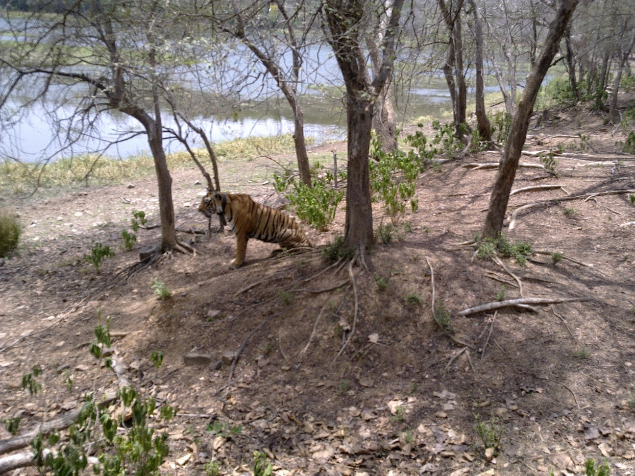 A Tiger near a water hole