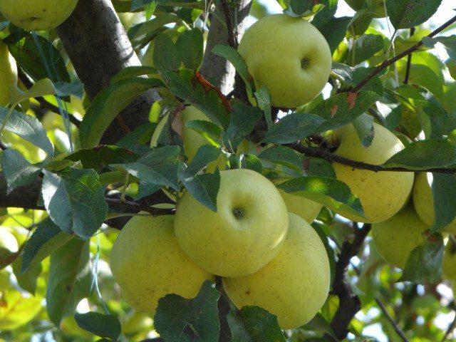 Apples at Tangmarg