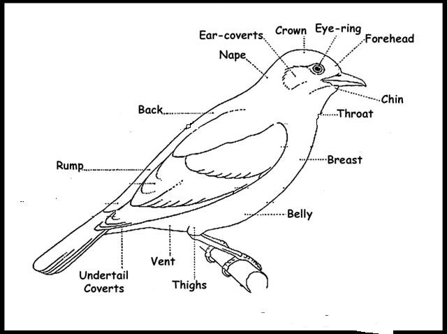 bird diagram for kids rh animalia life club Bird Body Parts Label Bird Body Parts Label