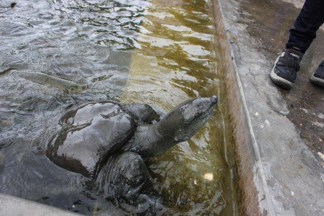 The huge lazy turtle lured out of water with a piece of inviting rusk