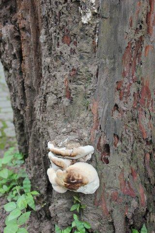 A big white mushroom on the wet brown tree trunk