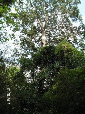 Very tall and gigantic Silk-cotton and Strangler fig trees