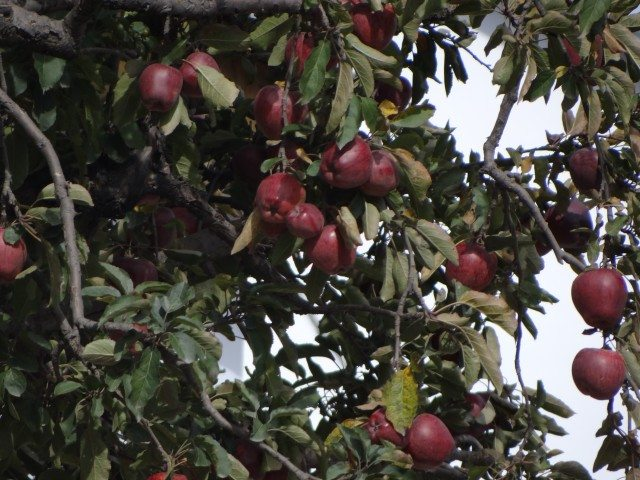 Royal apples at Kalpa