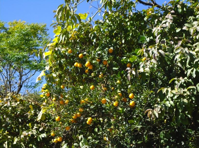 malta tree