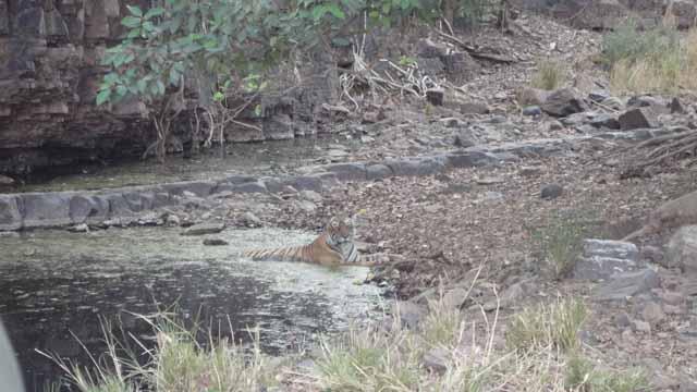 Tiger - King of Jungle