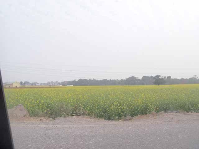 Mustard fields on the way to jaipur