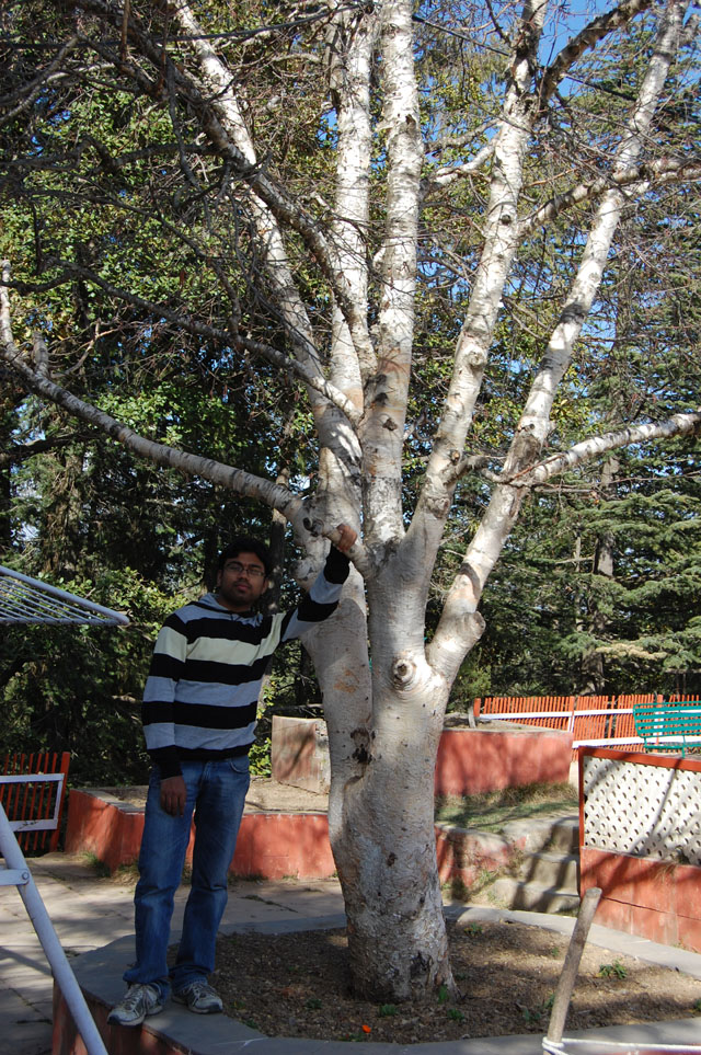 Was this white tree imported by Britishers?