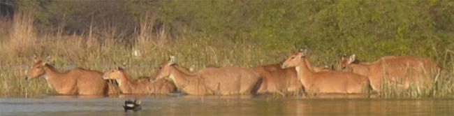 Deers, crossing the water body