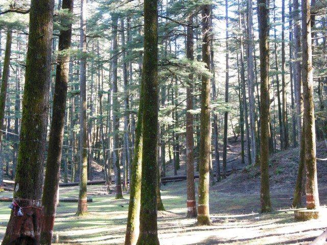Deodar grove in Tarakeshwar.