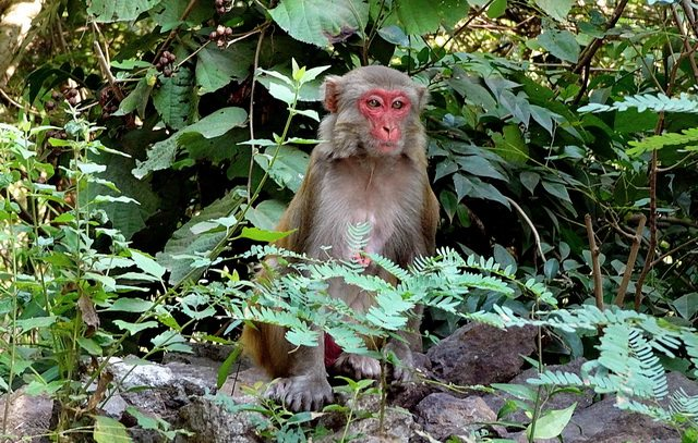 A monkey peers inquisitively through the dense foliage