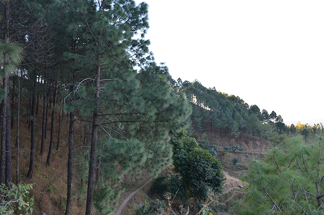 Surrounded by dense forests of Pine