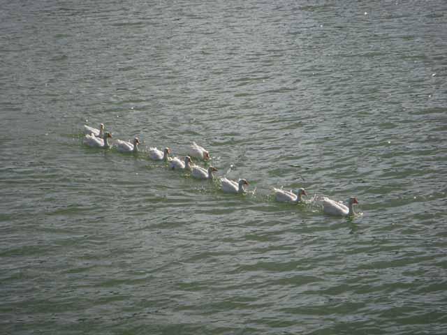 A Queue of ducks in Bhimtal