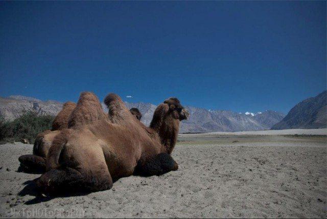 """ये फ़ोटो """"नीरज जाट"""" के लिए। उन्होंने लद्दाख के एक पोस्ट मे डबल हम्प वाले ऊंट के बारे मे पुछा था।"""