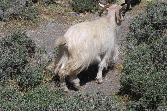 """इसी भेड़ की ऊन से विश्व प्रसिद्ध पश्मीना शाल बनती है। और ऊन निकालने के बाद """"मटन रोगन जोश""""।"""