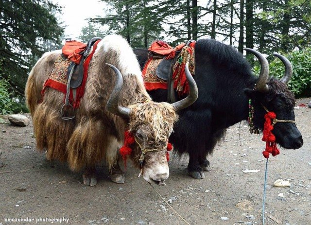 Yaks onway to Narkanda