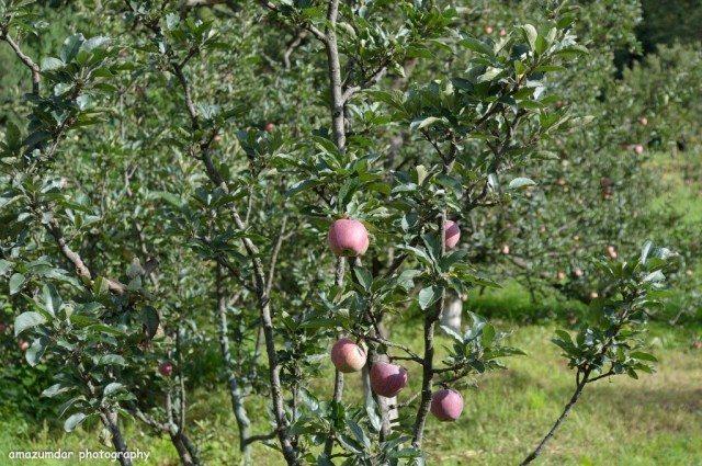 Sweet apples of Himachal