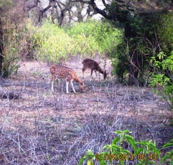 Deers in the reserve