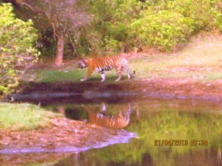 Majestic tigress in the reserve